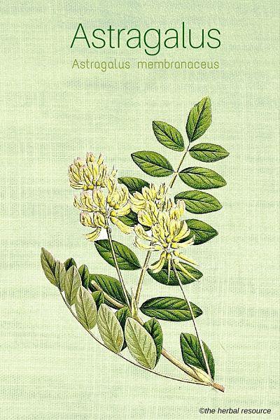 astragalus-herb-img